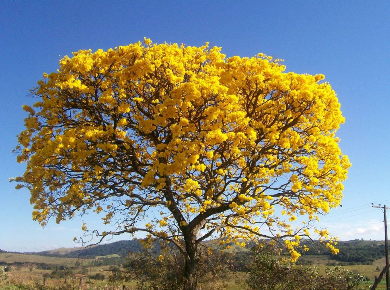 Ipês, em todas as suas cores, são as árvores mais belas da flora